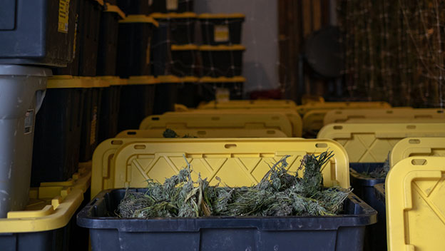 plastic totes for storage after harvest in a cannabis farm